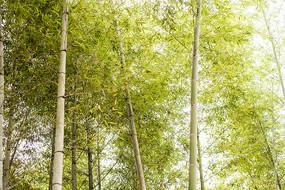 翠绿的竹林