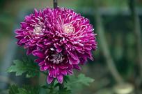 三朵玫红菊花