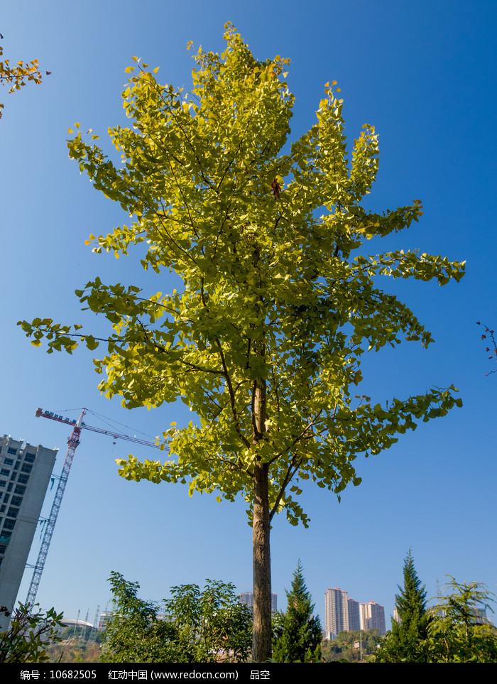 住宅小区里的绿化树种银杏树图片