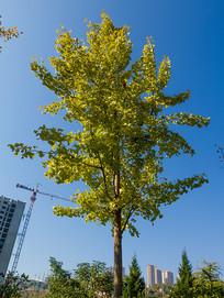 住宅小区里的绿化树种银杏树