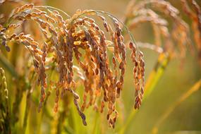 沉甸甸的稻穗