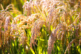 成熟的稻穗