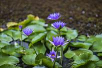 荷花池中矗立数朵紫莲