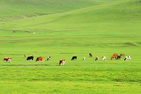 呼伦贝尔草原三河牛