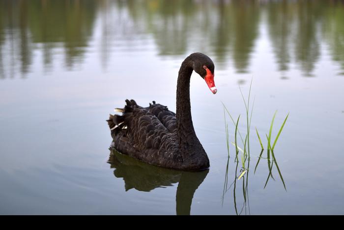 水中的黑天鹅图片