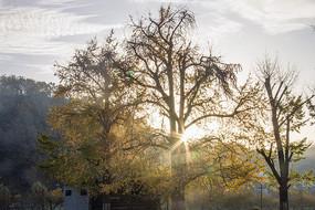 透着阳光的古银杏