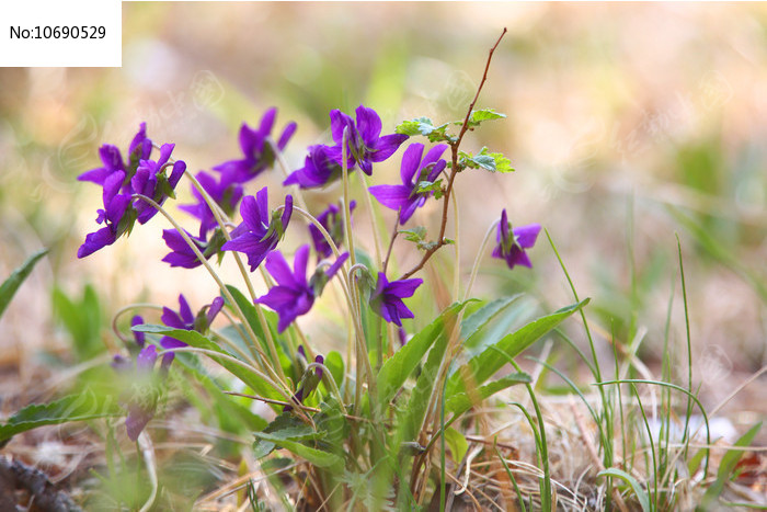 紫色的野花