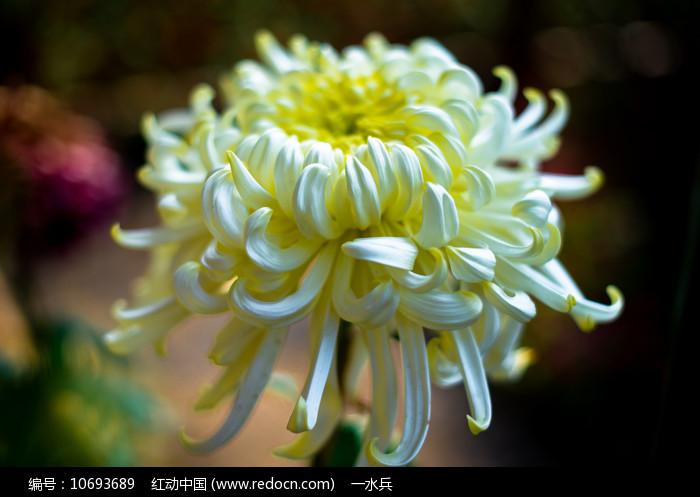 白丝菊图片