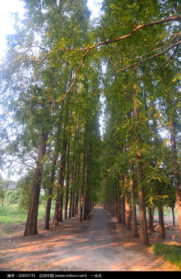 斑驳阳光的行道树图片