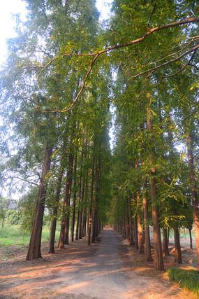 斑驳阳光的行道树