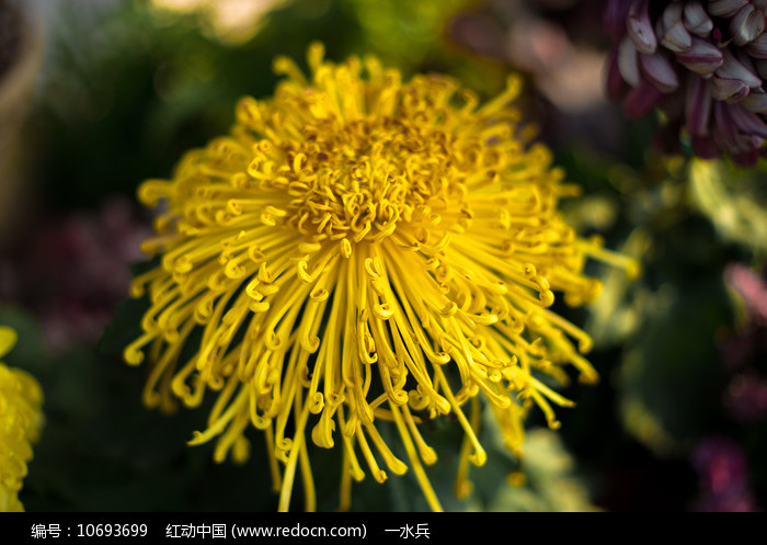 黃丝菊图片