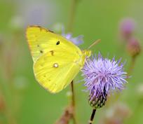 黄色粉蝶和紫花