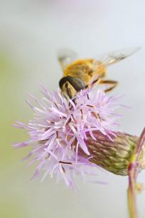 蜜蜂采蜜-大蓟草