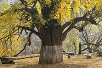 秋天的古银杏