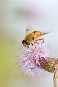 野花上采蜜的蜜蜂