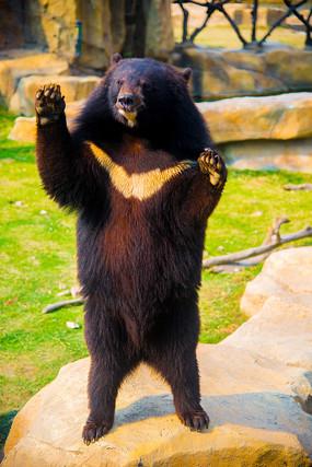憨态可掬的黑熊