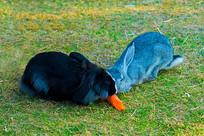 兔子吃胡萝卜