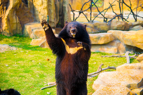 野生动物黑熊