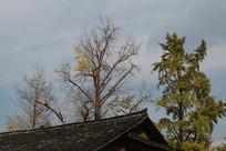银杏树叶子掉光