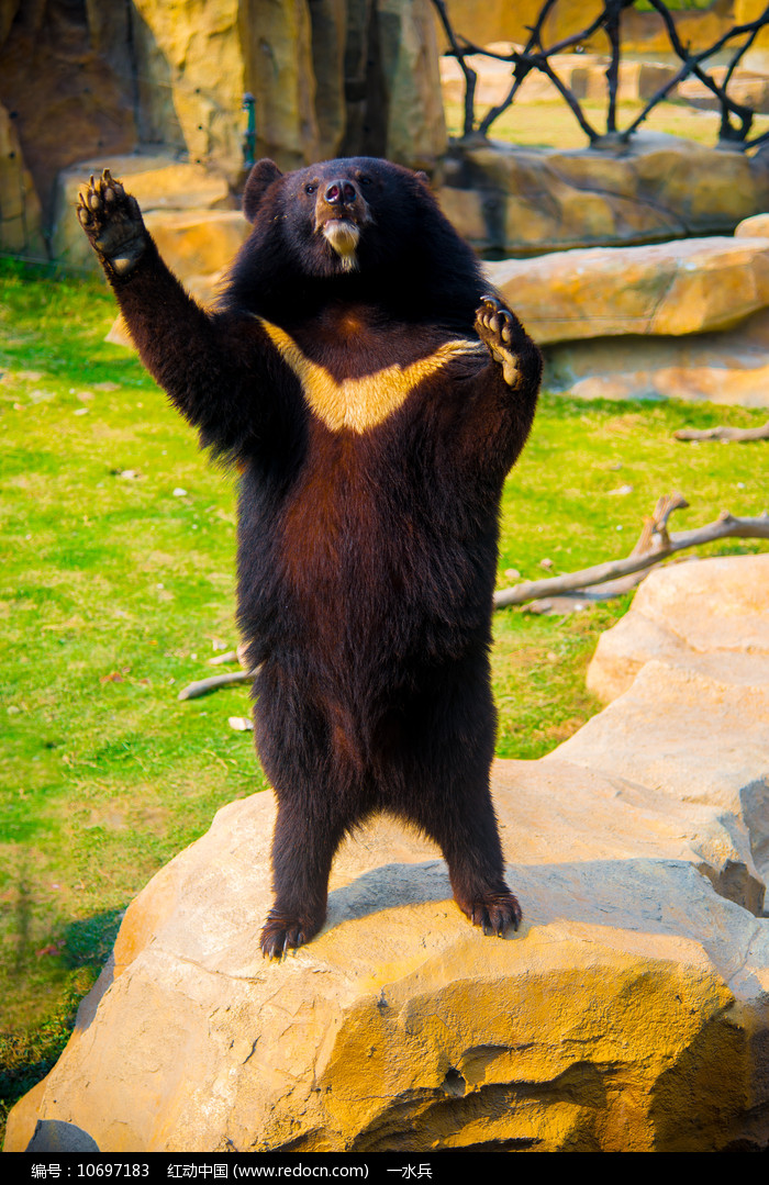 站立的黑熊图片