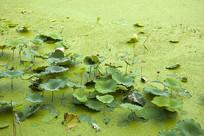 绿油油水面上的荷叶