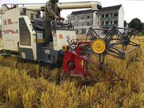 冬天稻田收割