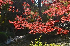 红枫树树枝