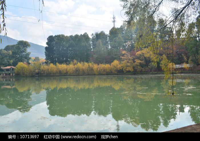 湖边金色的垂柳图片