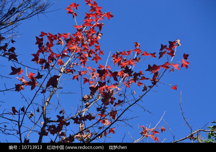 秋天的红枫树枝叶图片