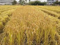 正在收割稻田