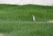 草丛中的苍鹭
