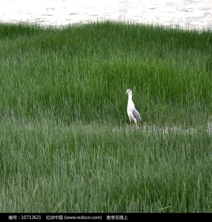 草丛中的鹭鸟图片
