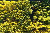 航拍金色的树林风景
