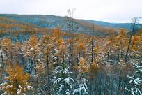 金秋彩林雪景