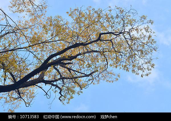 金秋银杏树图片