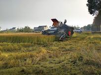 稻田收割忙