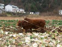一头老黄牛在田间耕作