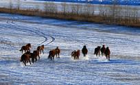 草原冬季奔跑的蒙古马