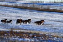 雪原牧场奔跑的蒙古马