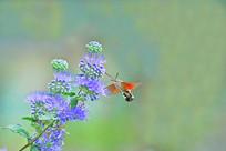 野花和采蜜的长啄天蛾