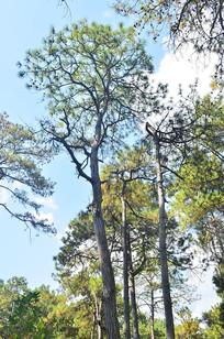 蓝天白云松树风景