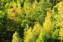 大兴安岭金色树林