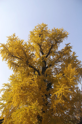 高大银杏树
