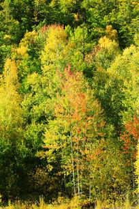 金秋树林红叶