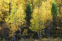 金色树林景观