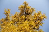 金色银杏古树