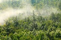 绿色松林雾气飘荡