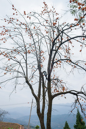 山野中的一颗柿子树