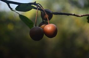 书上的山楂果子