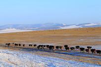 雪原牧场牛